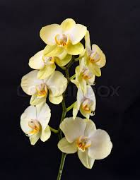 beautiful yellow orchid flower on black stock photo colourbox