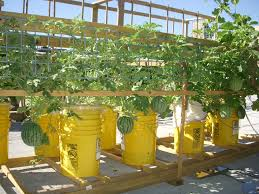self watering melon container oo kyle loves watermelons