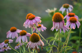 texas native plants fall native plant sale public day lady bird johnson wildflower