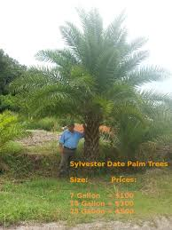 sylvester palm tree sale sarasota irrigation repair services lawn sprinkler system repair