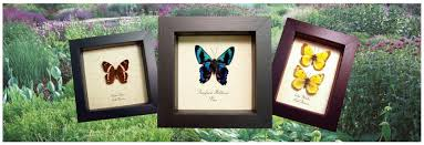 butterfly gifts real butterfly gifts real framed butterfly insect displays