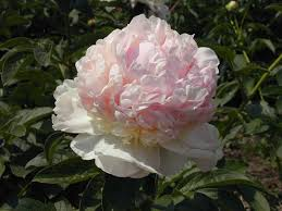 Flower Bomb Definition - types of peony flowers