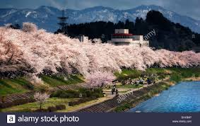blossom trees rows of white cherry blossom trees in full bloom along the