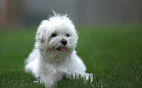 bichon frise for sale philippines bolognese puppies breed information u0026 puppies for sale