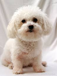 bichon frise 17 years old bichon frise mini poodle mix adopted 1 15 13 we are so lucky to