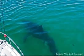 15 foot great white makes splash off cape cod beach boston herald