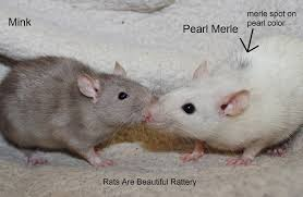 rat genetics