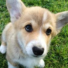 youtube lexus german shepherd fiona the corgi youtube