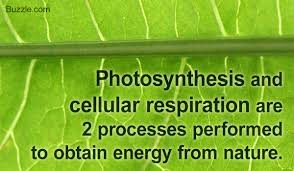 which plant cell organelle uses light energy to produce sugar all you need to know about photosynthesis and cellular respiration