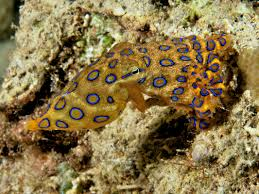 blue ringed octopus home