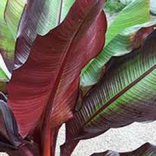buy banana plants cheap musa tandra plants banana