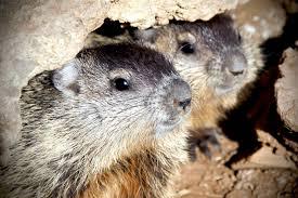 fun facts groundhogs u2013 fish wildlife service u2013 medium