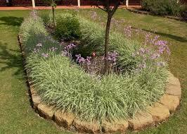 flower bed with society garlic plants society garlic plants for