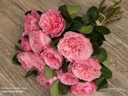 premium garden rose mayra u0027s rose