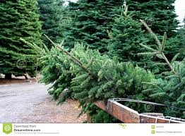 christmas tree farm stock image image of retail christmas 1013737