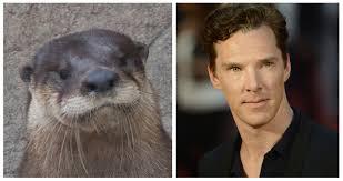 Benedict Cumberbatch Otter Meme - benny the otter hiddlebatch fans