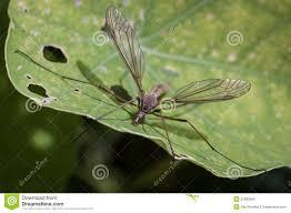crane fly daddy longlegs gallynapper stock photo image 52988266