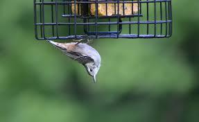 bedford audubon society project feederwatch