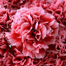 carnation flowers carnation flowers