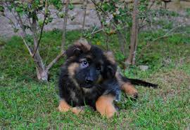 belgian shepherd for sale south africa adolph german shepherd dog puppy for sale euro puppy