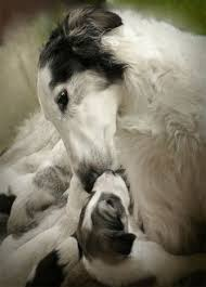 zoso afghan hound maki ogawa heavens door on pinterest