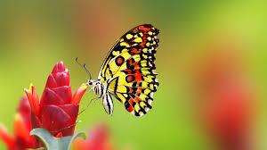nice butterfly on red flower wallpaper wallpaper studio 10
