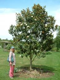 thornhayes nursery grower for specimen trees specialist