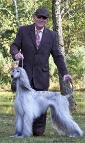 afghan hound national dog show lex robertson dogs and intersex u2014 afghan hound club of america