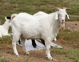 domestic goat simple english wikipedia the free encyclopedia