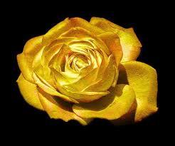 golden roses bonsai flower seeds 50pcs really golden