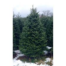 real trees delivered 6 green fir freshly cut
