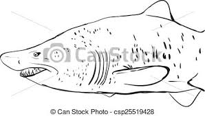 vector illustration of great white shark underwater sketch black