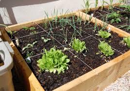 homemade 4x4 my spring vegetable gardens winterwheat