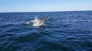 amazing pod of dolphins swimming with us while sailing to the isle