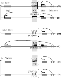 the chicken β globin insulator element conveys chromatin boundary