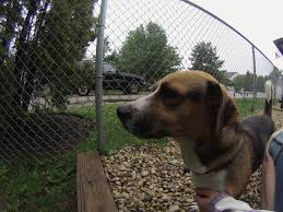 bluetick coonhound basset hound mix meet the pooches an introduction to the dogs of orphans of the