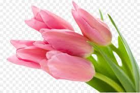 wallpaper bunga tulip desktop wallpaper pink flowers tulip bunga png download 4598