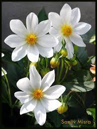 fresh flowers morning with fresh flowers sanjiv misra flickr
