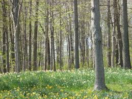 Connecticut forest images Meriden ct forest and daffodils photo picture image jpg