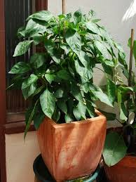 Green Chilli Plant Diseases - growing peppers in containers how to grow chili peppers in
