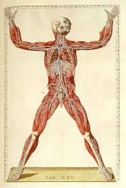 Human Anatomy Torso Diagram 75 Best Anatomy Images On Pinterest Drawings Human Anatomy And