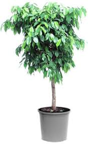 weeping fig tree ficus benjamina plants for my alabama home