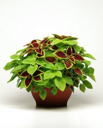 Plants That Dont Need Sunlight by Coleus Basics Hgtv
