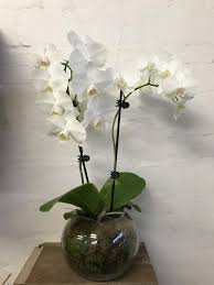 orchid plant orchid plant in fishbowl think blooms