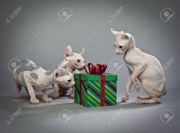 three hairless cats around a christmas present stock photo