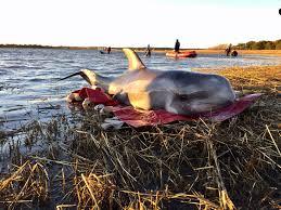 10 dolphins strand in wellfleet harbor news capecodtimes com