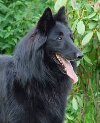 belgian sheepdog gif reference dogs groenendaeler u2013 grosman nl