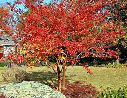 trees fall color maas nursery
