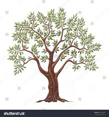 olive tree green leaves isolated on stock illustration 526314685