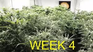 cannabis flower cannabis flowering week 4 youtube